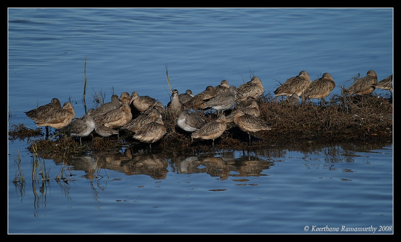 Marbled Godwits, Willets, Robb Field, San Diego County, California, December 2008
