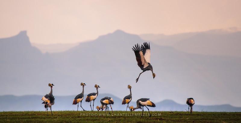 WILDLIFE | Jan 2017 - Dancing Cranes