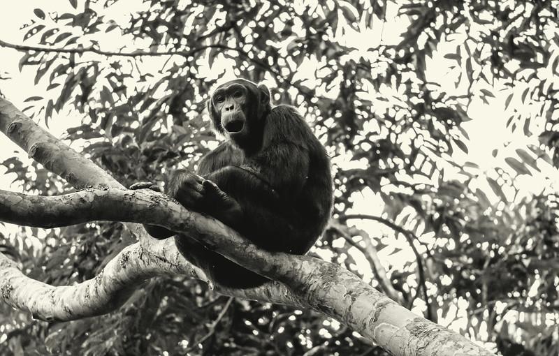 Uganda_T_Chimps-947.jpg