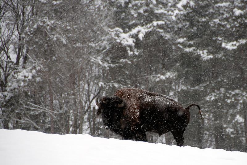 Buffalo-8.jpg