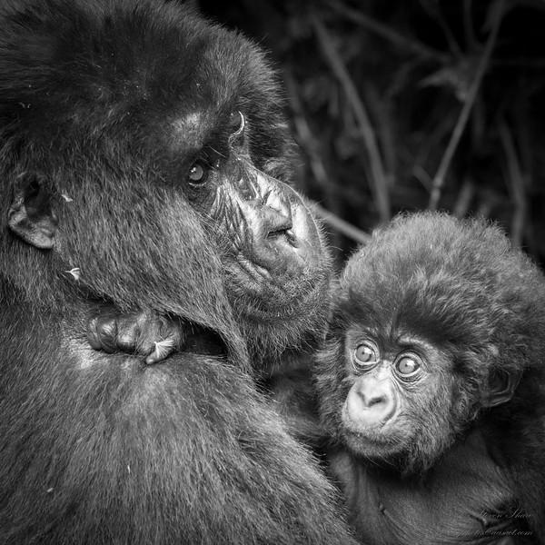 17_Steven Shaw - Gorilla Family.jpg