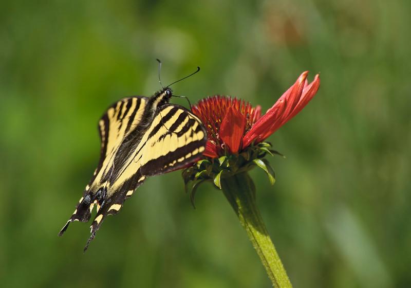 Western Tiger Swallowtail on a Tikki Torch cone flower