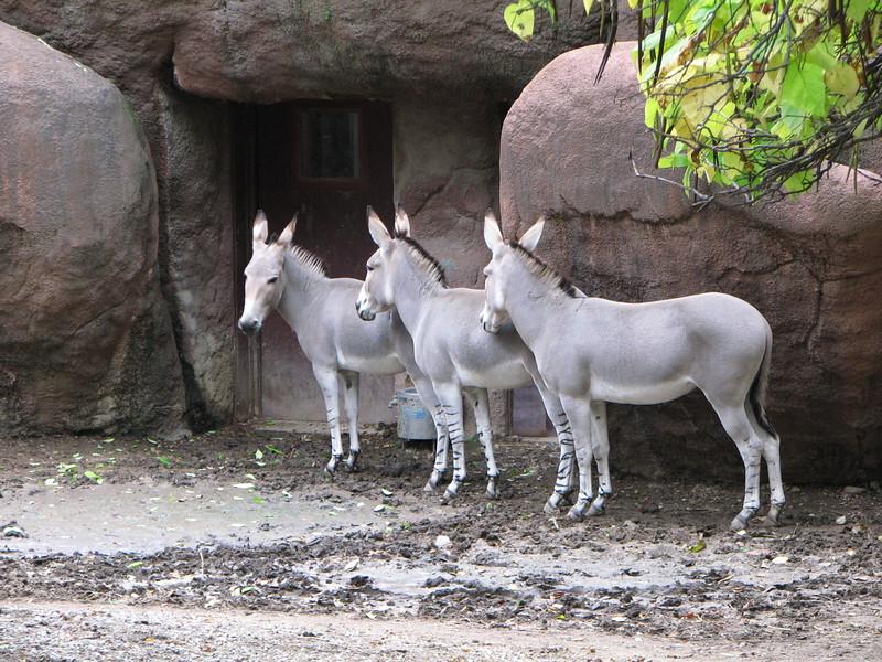 Somali Wild Asses