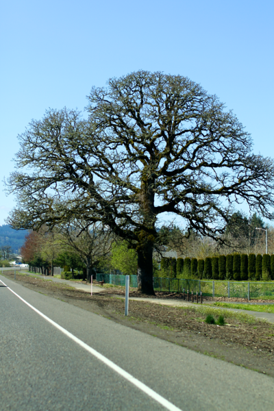 Oak trees are looking so majestic agains the blue sky