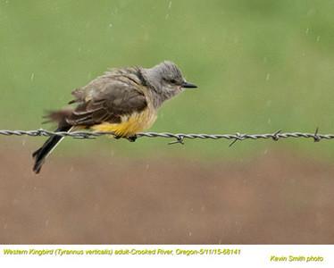 Western Kingbird A68141.jpg