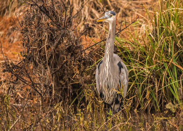 Great Blue Heron 4_DWL6194.jpg