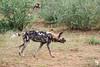 Wild Dog Stalking