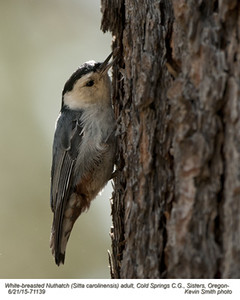 White-breasted Nuthatch A71139.jpg