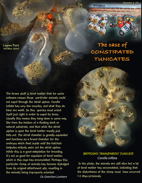 BROODING TRANSPARENT TUNICATE	( Corella inflata ).  Lagoon Point, Whidbey Island. December 8, 2011