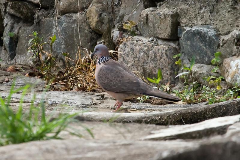 Spotted Dove at Hong Kong, China (11-9-08).psd