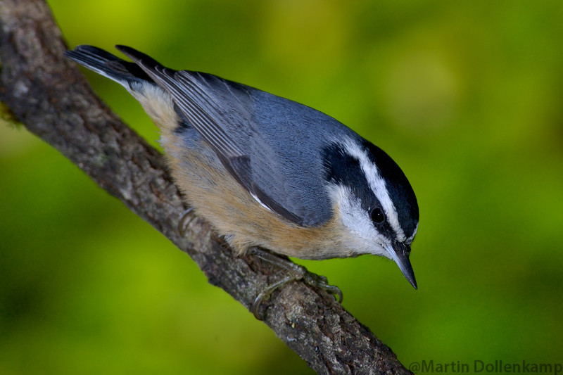 nuthatchdownangle.jpg