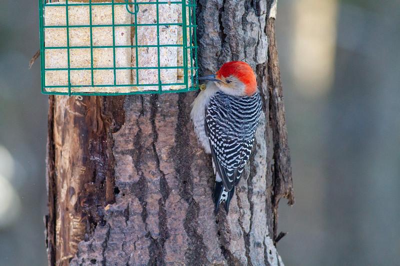 Red-bellied Woodpecker Skogstjarna Carlton County MN -0665.jpg