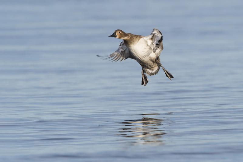 Canvasback Hen Landing Two.jpg