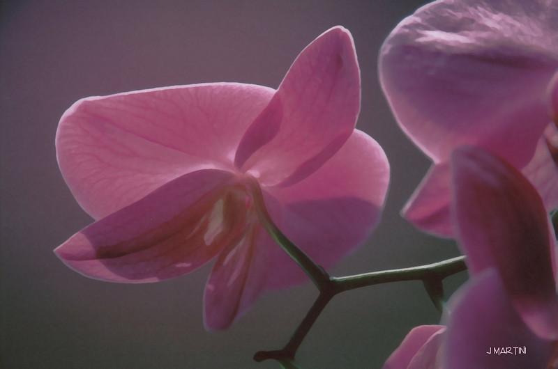 orchid study 1 4-6-2008.jpg
