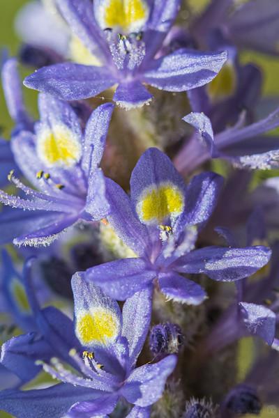 Pickerelweed flowers