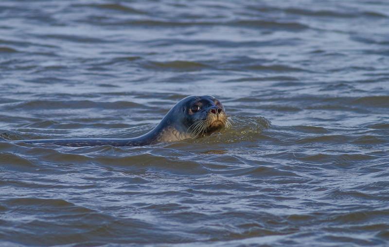 Harbor Seal Cape Merry Hudson Bay Churchill Manitoba Canada IMG_1802.jpg