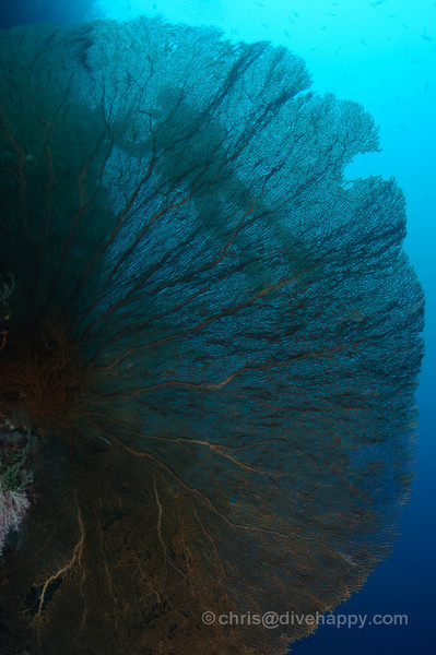 A diver is silhouetted behind a huge fan coral at Menjangan, Bali
