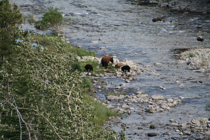 20110828 - 072 - GNP - Sow And 3 Bear Cubs Along Road By Many Glacier Hotel.JPG