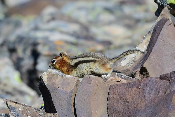 9-16-14 Golden Mantled Squirrel