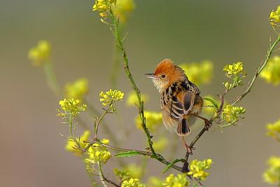 Grassbirds, Reed Warbler & Spinifexbird