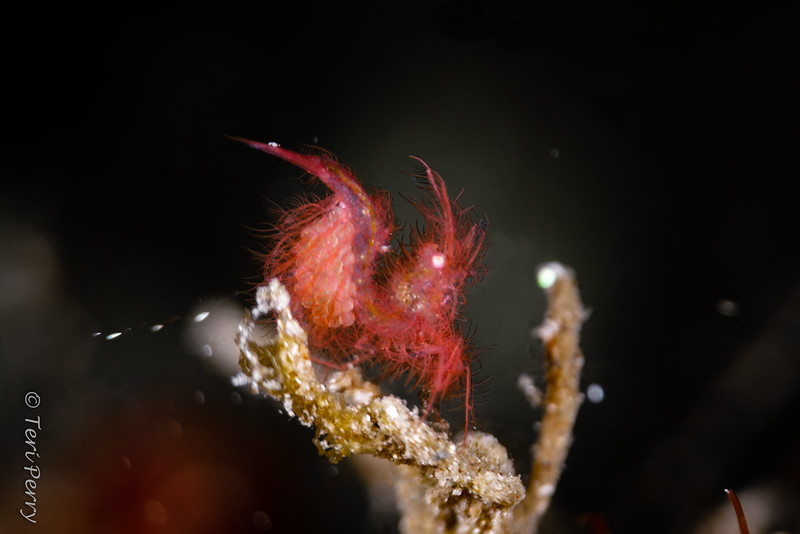 SHRIMP - hairy with eggs and losing them?--Edit.jpg