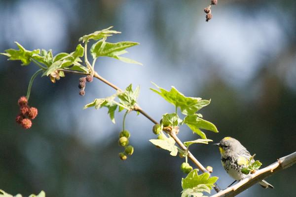 Birds - Yellow Rumped Warbler