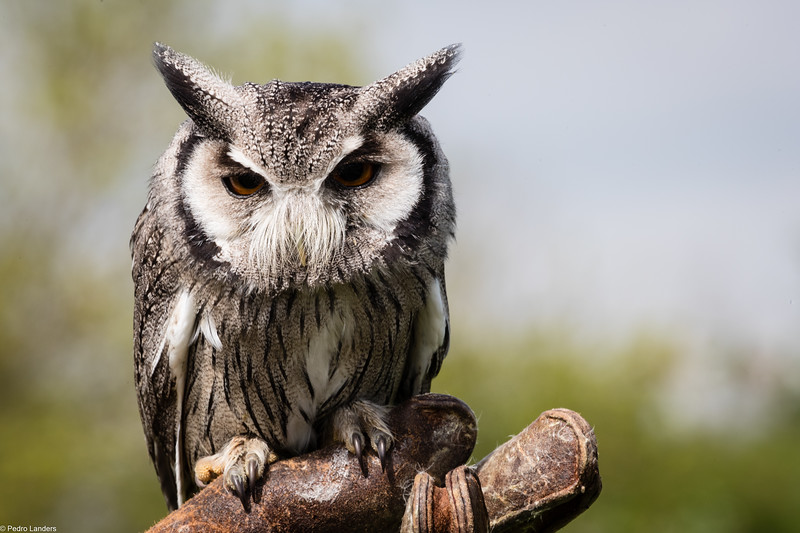 Cherub the Scops Owl.jpg