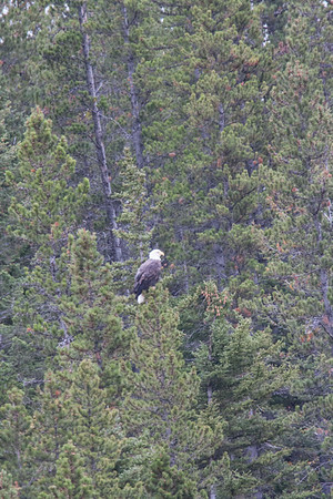 29 Day 5 Sat: Bald Eagle Perching