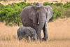 Baby and full grown elephant walking through grassy field. Photography fine art photo prints print photos photograph photographs image images artwork.