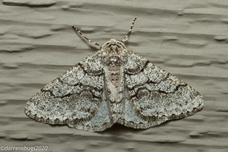 Half-Wing Moth, Phigalia titea (Iowa, USA).