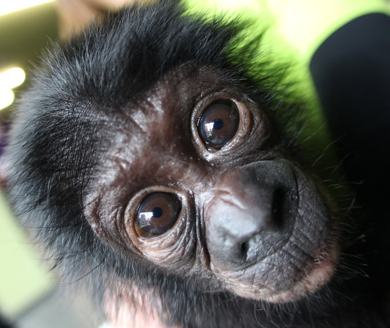 Description of . Bonobo baby Sambo looks into the camera in the zoo of Frankfurt, Germany, Tuesday, April 24, 2012. The male chimpanzee baby was born on January 7 and had to be raised by hand. During the next days the baby will meet with his fellow species in the zoo. (AP Photo/Michael Probst)