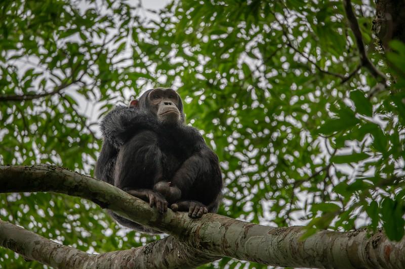Uganda_T_Chimps-1021.jpg