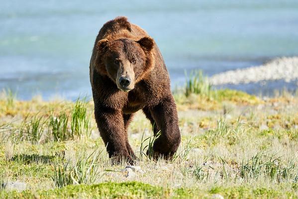 Brown Bear Boars Katmai Alaska August 2020