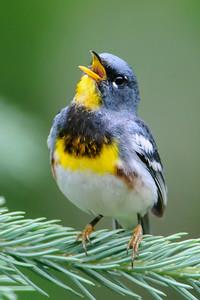 Other Birds N-R