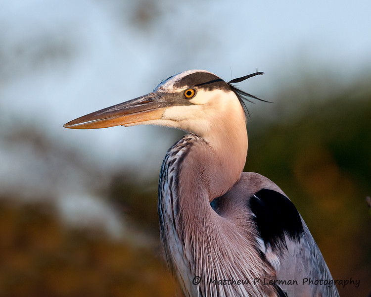 Great Blue Heron Sunrise_6134 (3).jpg