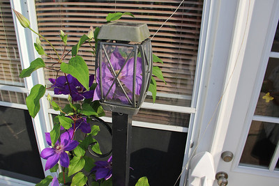 Flower Growing Inside Light, West End, Tamaqua (6-26-2013)