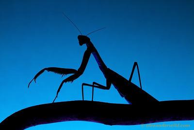 Tenodera sinensis Chinese mantis.