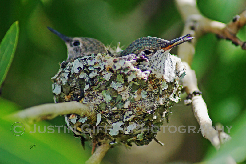 Baby Hummingbirds 1.jpg