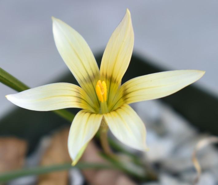 Romulea hybrid