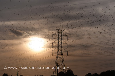 2013 Purple Martin Migration