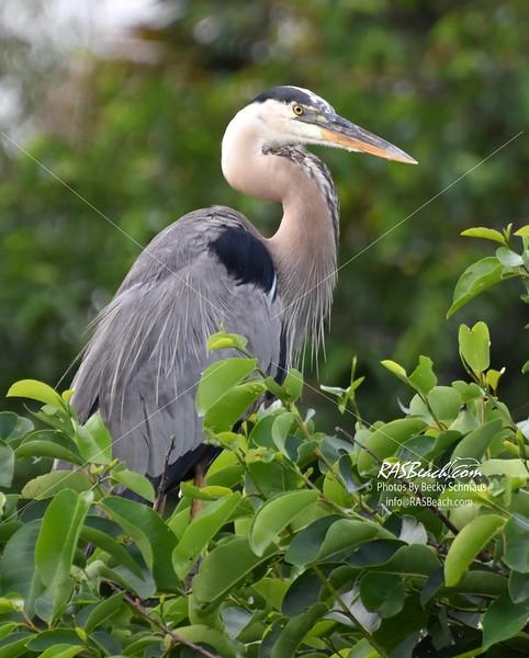 Great Blue Heron in the Wakodahatchee Wetlands, Palm Beach