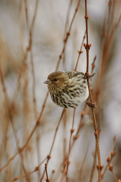 Finches, Siskins
