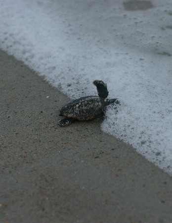 Loggerhead Hatchlings of Emerald Isle