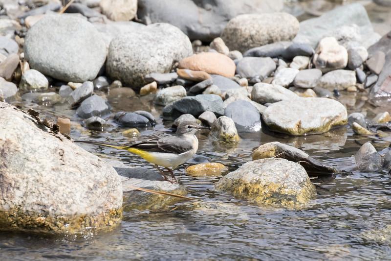 ushguli, grote gele kwikstaart, grey wagtail
