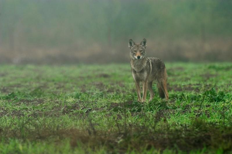 Coyote stare.jpg