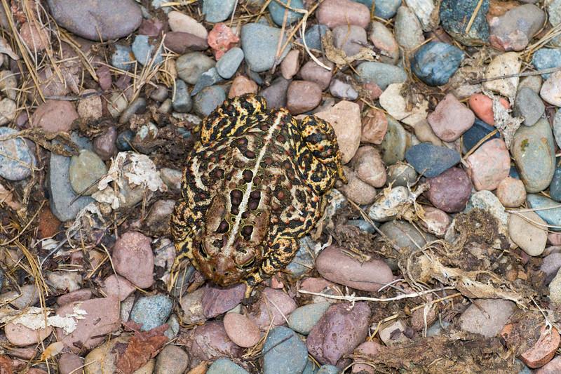 toad American Toad Bufo americanus garden at Skogstjarna Carlton County MN IMG_3486.jpg