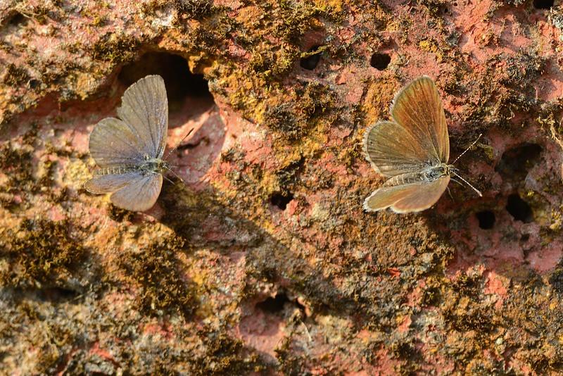 Butterflies-Love-on-the-rocks.jpg