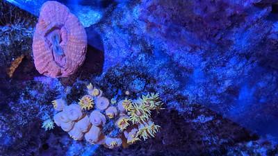 2019-08-15 - Reef Tank update - Ball Anemone