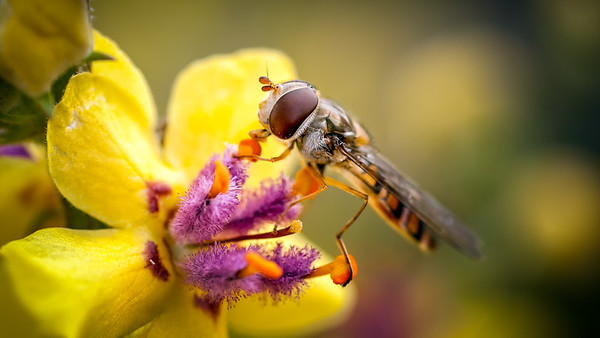 Wildlife: Diptera (Flies)
