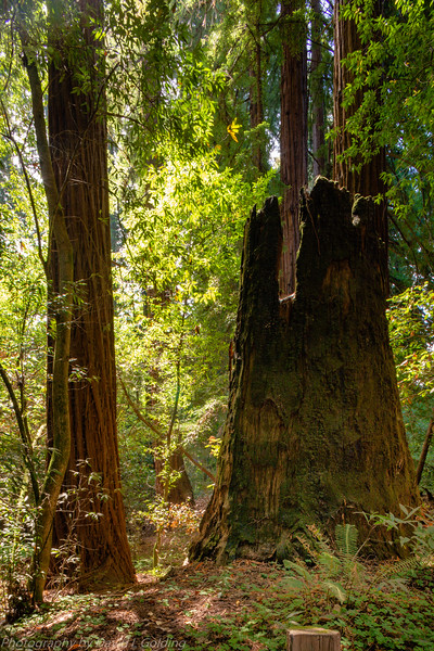 Henry Cowell Redwoods State Park (CA) Collection